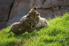 Wrestlemania (San Diego Zoo Global) Tags: baby cute nature animals cub kitten sandiego wildlife lion ken adorable cubs sandiegozoo dixie safaripark