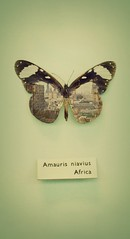 amauris niavius, africa (alicehopedenny) Tags: city colour building london museum work butterfly bug insect photography exposure cityscape image pastel butterflies images double multiple exam horniman within exposures alevel
