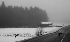 surprise surprise black bird (Anamaria Brigitte) Tags: road trip trees houses winter bw white snow black bird fog mysterious