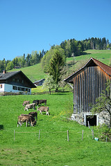 Cows Grazing in the Alps (violinconcertono3) Tags: travel tourism nature grass animal buildings landscape austria cow europe montafon noone bluesky pasture vacations paddock ecotourism vorarlberg arlberg traveldestinations domesticcattle dairycattle europeanalps animalsandpets tierhaltung berglandschaft