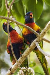 Lovers (BAN - photography) Tags: flowers food birds branches lorikeets rainbowlorikeets birdlife d810