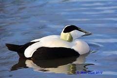 Eider (Mike Slade.) Tags: england gloucestershire wwt slimbridge somateriamollissima wildlifeandwetlandstrust maleeiderduck