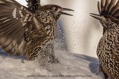 Spotted Nutcracker, copyright Iordan Hristov (Iordan Hristov - bird guide in Bulgaria) Tags: trip bird photography tour bulgaria guide birdwatching spottednutcracker