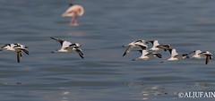 crab-plover Flying (ALJUFAIN KUWAITI) Tags: me birds canon rebel flying photo explore 7d falcon birdsinflight kuwait bye ok  markii hussain  jahra   saqer birdsreserve sigma150600 7dii 7dmarkii aljufainkuwaiti  aljufain   7dmii
