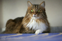 attention ! (photos4dreams) Tags: male home cat photo photos pics fluffy sputnik siberian tomcat longhaired sibirian sibirische sibi waldkatze photos4dreams photos4dreamz p4d 15022015p4d