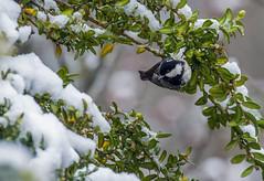 Msange noire (JeanJoachim) Tags: bird pssaro aves fugl oiseau vogel uccello ptak fgel lintu passeriformes coaltit periparusater parusater  paridae msangenoire  smcpentaxda300mmf4edifsdm pentaxk5iis