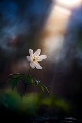 Anemone nemorosa (MichaSauer) Tags: wood flower macro bokeh 100mm makro f4 gegenlicht buschwindrschen windflower woodanemone meyergrlitz frhblher trioplan anmonesylvie