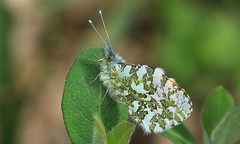 Orange Tip 030516 (1) (Richard Collier - Wildlife and Travel Photography) Tags: macro wildlife butterflies insects naturalhistory british orangetip