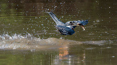 Great catch! (tmeallen) Tags: brazil reflections matogrosso splashes ringedkingfisher catchingfish birdwithfish fishinbeak pixaimriver emergingfromwater pantanalwetlands megaceryltorquata