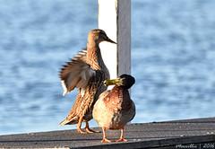 DSC_1001 copy (Merrillie) Tags: sea nature water birds animals fauna bay nikon waterfront bokeh wildlife ducks australia nsw mallard mallards woywoy d5500 nswcentralcoastnsw centralcoastnsw woywoyfishermenswharf