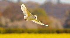 SpringOwl (jammo s) Tags: bird nature flying spring wildlife owl barnowl birdofprey bif tytoalba birdinflight canonef400mmf56lusm canoneos80d