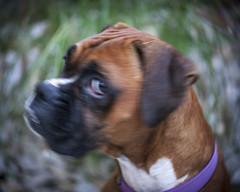 I have my eye on you (Keith Broad Photography) Tags: lensbaby lomography boxerdog twirl swirlybokeh lensbabytwist60