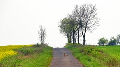 in the middle of the road (JoannaRB2009) Tags: road trees green nature animal yellow landscape countryside spring view path poland polska fox fields lodzkie dzkie
