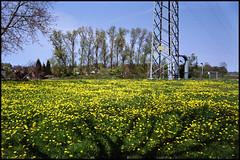 Neerbeek Meadows (01) (Hans Kerensky) Tags: 120 film 35mm canon lens scanner meadows 7 200 jupiter12 28 nl dm limburg paradies neer plustek neerbeek opticfilm lzos 2650ppi