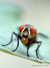 spitting!!!!!!! (kaizen.deepakumd) Tags: macro closeup insect weird fly micro housefly insectlife macromondays