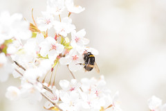 Bumblebee Blossom (hlamas) Tags: white flower nature animal insect cherry spring blossom bloom