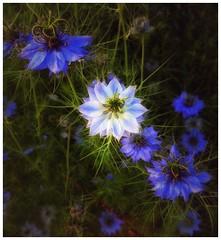 Cornflowers (rakeshnar1973) Tags: cornflowers
