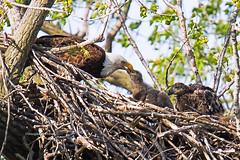 Des Moines, Iowa 4/23/2016 (Doug Lambert) Tags: bird nature midwest nest wildlife baldeagle iowa desmoines eaglets grayslake