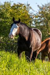999A3870 (RPQHP) Tags: horses horse spring weide natur western quarter pferde pferd quarterhorse