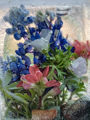 Icy blooms (Explore June 10, 2016) (Anne Worner) Tags: flowers blue orange green texture wet floral leaves rocks under bluebonnet encased bubbles layers iced preserved submerged morningglory indianpaintbrush prairiefire niksoftware airpockets ononesoftware anneworner
