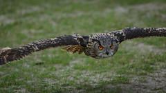 (Eurasian) Eagle Owl, Bubo bubo (Europesche Oehoe)-5 (Rudaki1959 thanks for looking) Tags: birds bird earthnaturelife handheld animal canonef70200mmf28lisusm nature