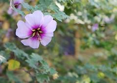 violet hibiscus (Karol Franks) Tags: california ca blue flower color floral garden hawaii spring purple young violet lavender hibiscus tropical blooming sopasadena