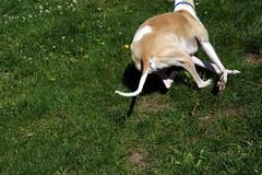 Rear End (DiamondBonz) Tags: dog pet rear hound run whippet end spanky dogchal