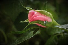 Miniature Rosebud from the Mother's Day Bouquet (qorp38) Tags: pink miniature day rosebud mothers