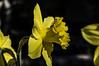 Giardino Primavera 2016-007 (Stefano Merli) Tags: flowers italy hot flower leave primavera home fleur leaves yellow foglie fleurs jaune casa leaf petals spring italia sunny petal gelb giallo foglia narcisse fiori blatt fiore blüte petali printemps italie flowerpower corolla narciso feuilles pétale feuille frühling narcissus petalum narzissen flowerporn amaryllidaceae corolle narcisi kronblatt petalen solue