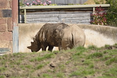 Chester Zoo (413) (rs1979) Tags: zoo chester rhino blackrhino chesterzoo