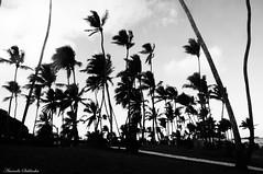 Villas do Atlntico - Lauro de Freitas - Bahia/Brasil (AmandaSaldanha) Tags: autumn sky bw praia beach nature beauty clouds dark landscape photography photo flickr natureza gothic pb paisagem outono coqueiros whiteandblack