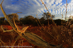 An iconic scene of intense colour from outback Australia (Rob Valentic - Gondwana Reptile Productions) Tags: rollei desert arid carlzeiss camoflague oldmeetsnew vintagelens crypsis australianlizards desertlizards sandplain qbm triodia acaciaaneura oldlensnewcamera leitax robvalentic treelizards canoneos5dmark3 acaciashrubland caimanopsamphiboluroides wareptiles chenopodshrubland pilbarareptiles outbackreptiles mulgalandsreptiles aridaustralianreptiles arborealagamidae mulgareptiles wagoldfieldsreptiles mulgadragon fisheyezeiss iconicaustralianlandscape wideanglelizard wideanglereptiles iconiclizard mulgasunset rollei16hft rolleicarlzeissdistagon1628hft rollei16mmqbmmount sandstonewareptiles