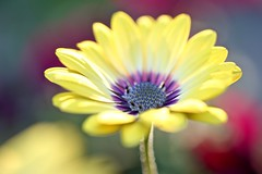 Bokeh Stem (Connie Etter Photography) Tags: flower yellow backlight canon flora bokeh 100mm round osteospermum capedaisy 1dx