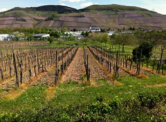The day before you came (Henri Schmitt) Tags: vineyards tq