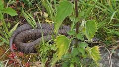Ringslang | European Grass Snake (**AB**) Tags: grasssnake natrixnatrix ringslang