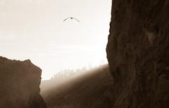 essence of ra (2) (zzra) Tags: light sun bird beach rock sepia mono seagull rays elmatador