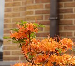 L'azale orange - The orange azalea (p.franche) Tags: brussels flower macro nature fleur wall closeup garden europe belgium belgique bruxelles panasonic dxo azalea mur brussel hdr schaarbeek schaerbeek belge rorange azale flickrelite fz200 pascalfranche pfranche
