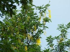Q5283775 (bratispixl) Tags: germany oberbayern tele insekt fliege schrfentiefe baumblte goldregen ahorn chiemgau lichtwechsel traunreut fokussierung stadtrundweg bratispixl