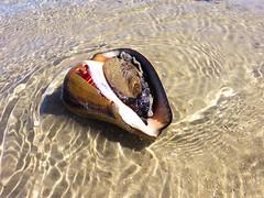 IMG_0157 (Tina A Thompson) Tags: sonora seashells mexico sealife seashell marinebiology tidepools seaofcortez marinelife chollabay mexicobeaches chollabaymexico