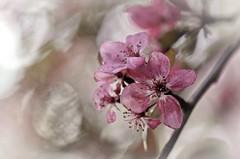 Fleurs macro (Amand59) Tags: fleurs arbre nature macro macrophotography nikon d7000 sigma sigma105mm bokeh fleur f flowers pastel