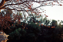 nature (tufekeren) Tags: travel flowers sunset sun color colour detail tree green art nature analog 35mm outdoor grain fujifilm analogue