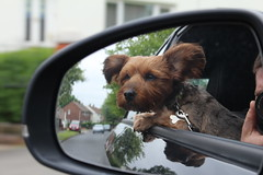 Ahhh That's Better (Garden_Gnome) Tags: dog pet pets reflection dogs yorkie window car animal mirror arthur terrier yorkies yorkshireterrier yorkshireterriers terriers