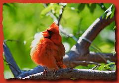 Cardinal sunbathing (alessiorossitto) Tags: cardinal sunbathing