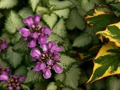 Les couleurs du jardin (bowb59) Tags: flower fleur garden flor jardin lamium maculatum