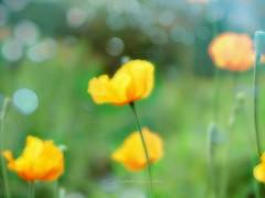 The taste of a warm day (broombesoom) Tags: flower green nature yellow germany deutschland flora natur may meadow wiese mai gelb poppy grn daydream papaver mohn islandmohn papavernudicaule tagtraum nudicaule