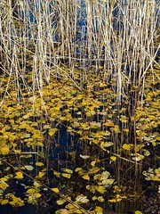 Bed of reeds (Unimaa) Tags: helsinki tlnlahti syksy kaislikko