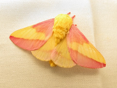 Rosy Maple Moth (magarell) Tags: insect moth nj plainsboro rosymaplemoth plainsboropreserve middlesexcounty dryocamparubicunda njas newjerseyaudubon