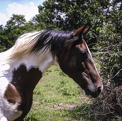 Sally (EX22218 - ON/OFF) Tags: blue trees sky horses weeds paint dry sally equine