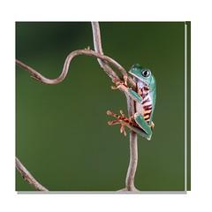 Hanging on (hehaden) Tags: branch amphibian frog twig bournemouth captivelight phyllomedusatomopterna supertigerlegtreefrog supertigerlegmonkeytreefrog