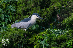 Black-crowned Night Heron - 15 (RGL_Photography) Tags: heron birds us newjersey unitedstates wildlife oceancity jerseyshore ornithology mothernature rookery blackcrownednightheron nycticoraxnycticorax wadingbirds capemaycounty migratorybirds wildlifephotography nikond500 greateggharborbay littlefingerchannel staintonmemorialcauseway nikonafs200500mmf56eedvr